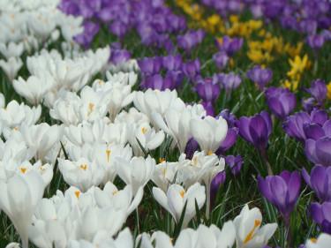 Tänk att ha en sådan matta med krokus i trädgården! Släng inga överblommade lökar som du haft i kruka utan ner med de i jorden för blomning nästa år! Foto: Katarina Kihlberg