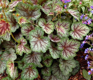 Alunrot fyller ut med sina vackra blad.