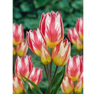 Tulipa 'Tricolette'. Foto: Odla.nu