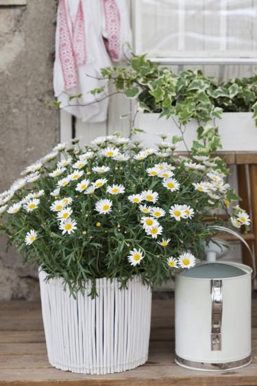 Buskmargerit i kruka.  Foto: Blomsterfrämjandet/Anna Skoog