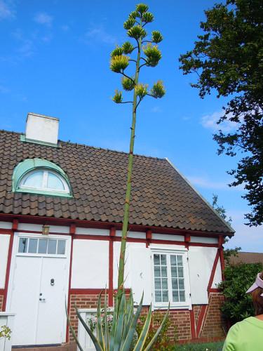Den ca 5 m höga blommande agaven. Foto: Sylvia Svensson