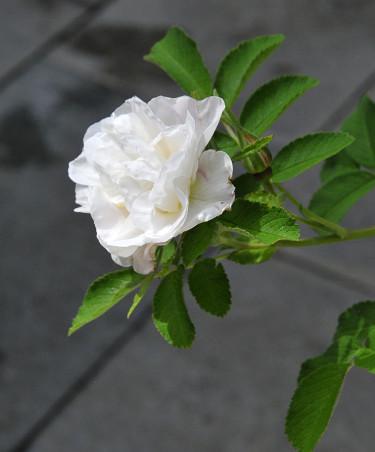 Årets Ros 2014 Rosa rugosa 'Lac Majeau'. Foto: Bernt Svensson