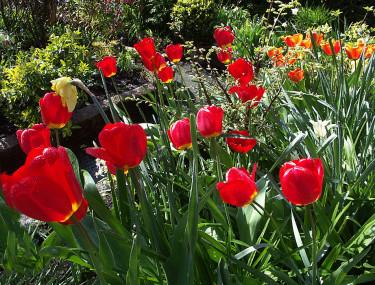 Tulpaner är tyvärr också sorkgodis. Foto: Sylvia Svensson