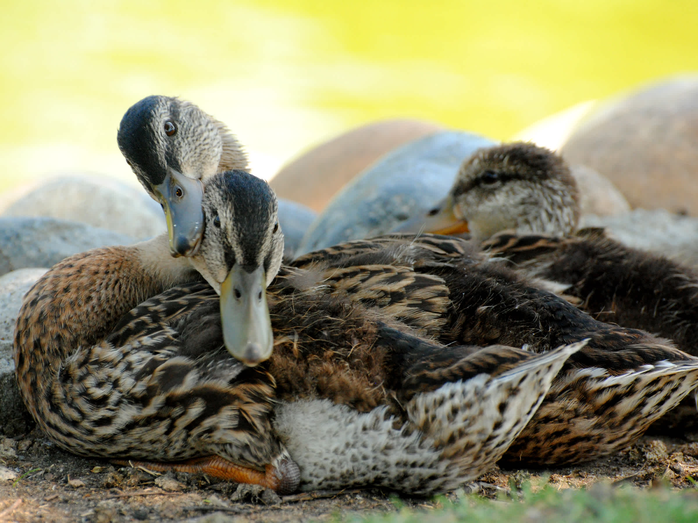 Ducks rubbing heads together.