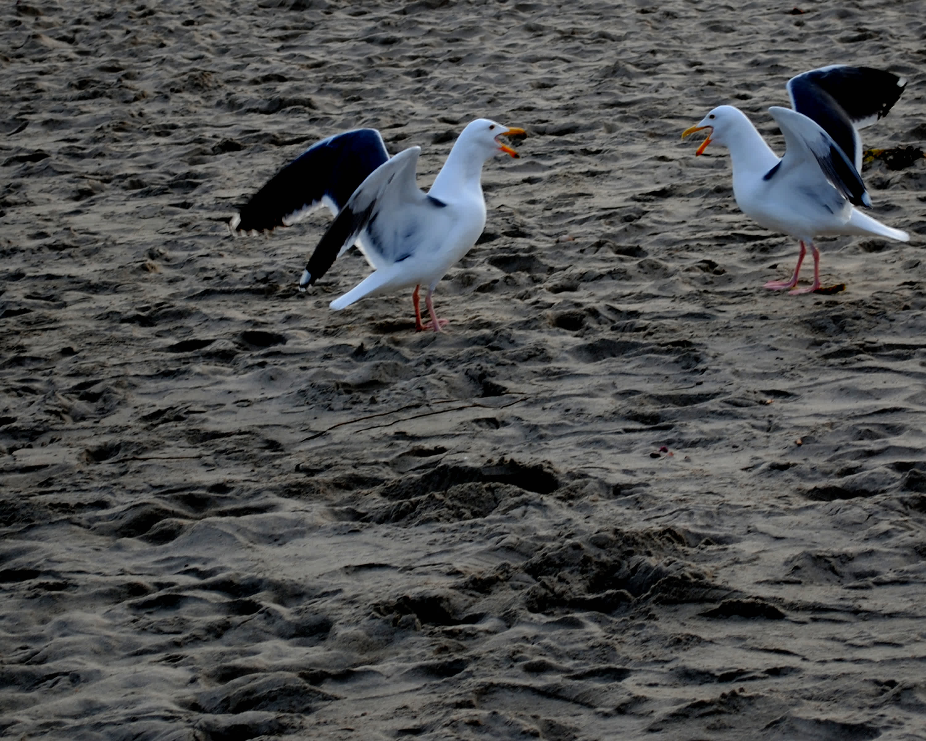 Two white birds flapping wings at each other on the sand.
