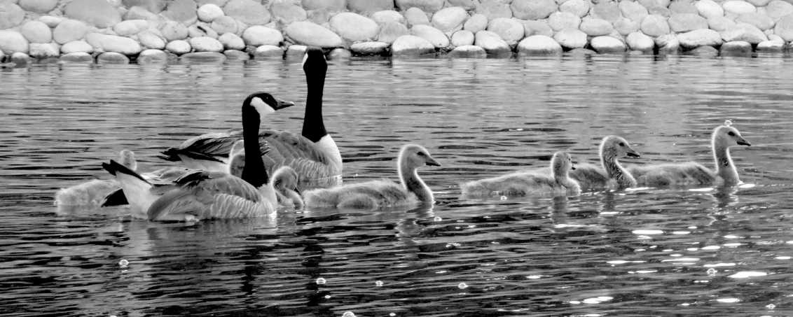 Group of ducks swimming in the water in black and white.