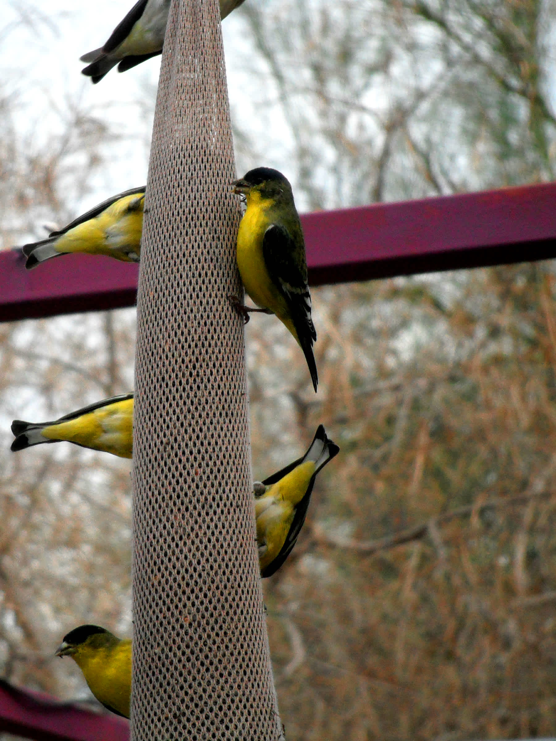 Yellow-stomach birds eating off bird feeder pillar.