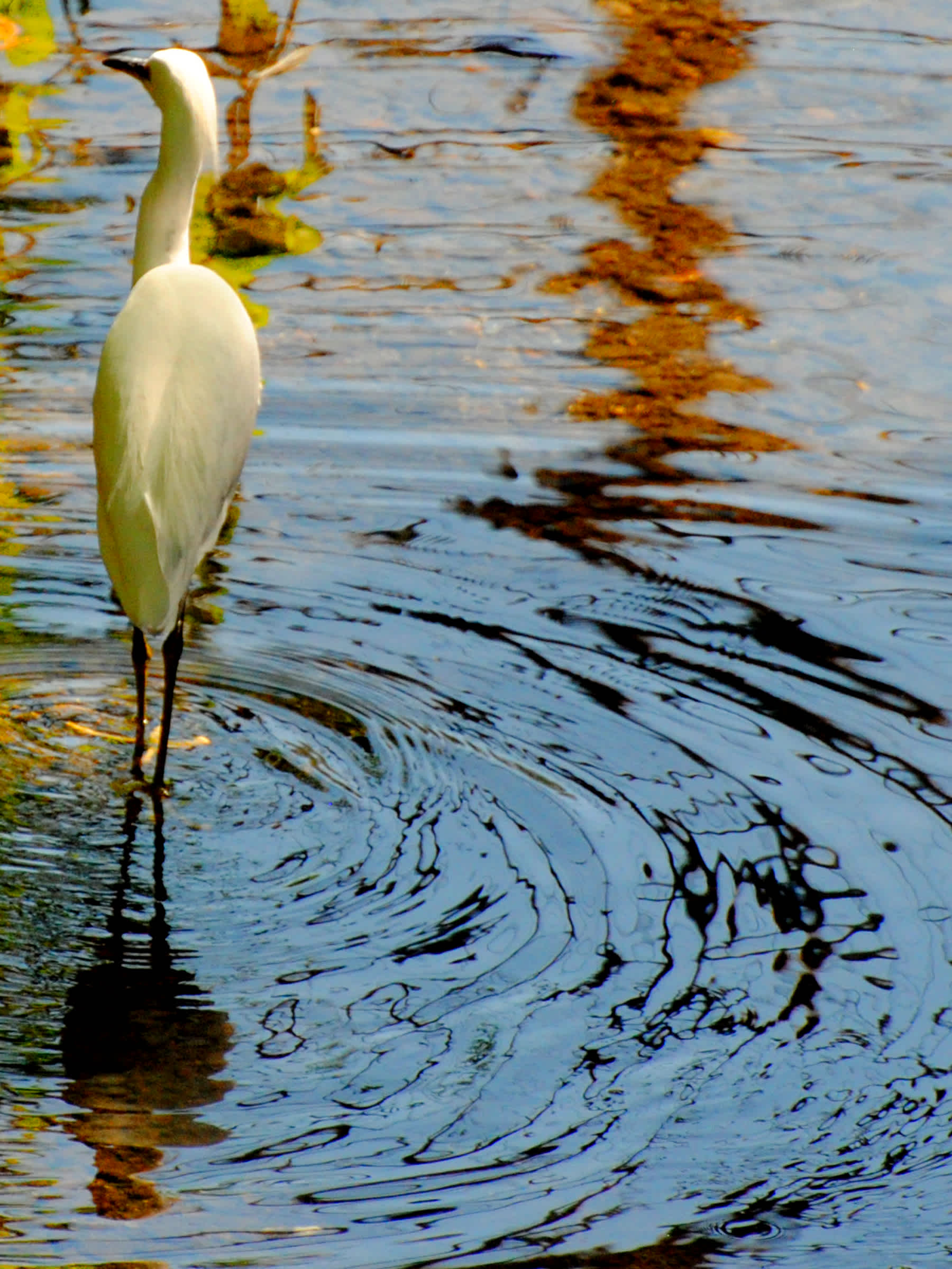 White bird with long legs standing in the water.