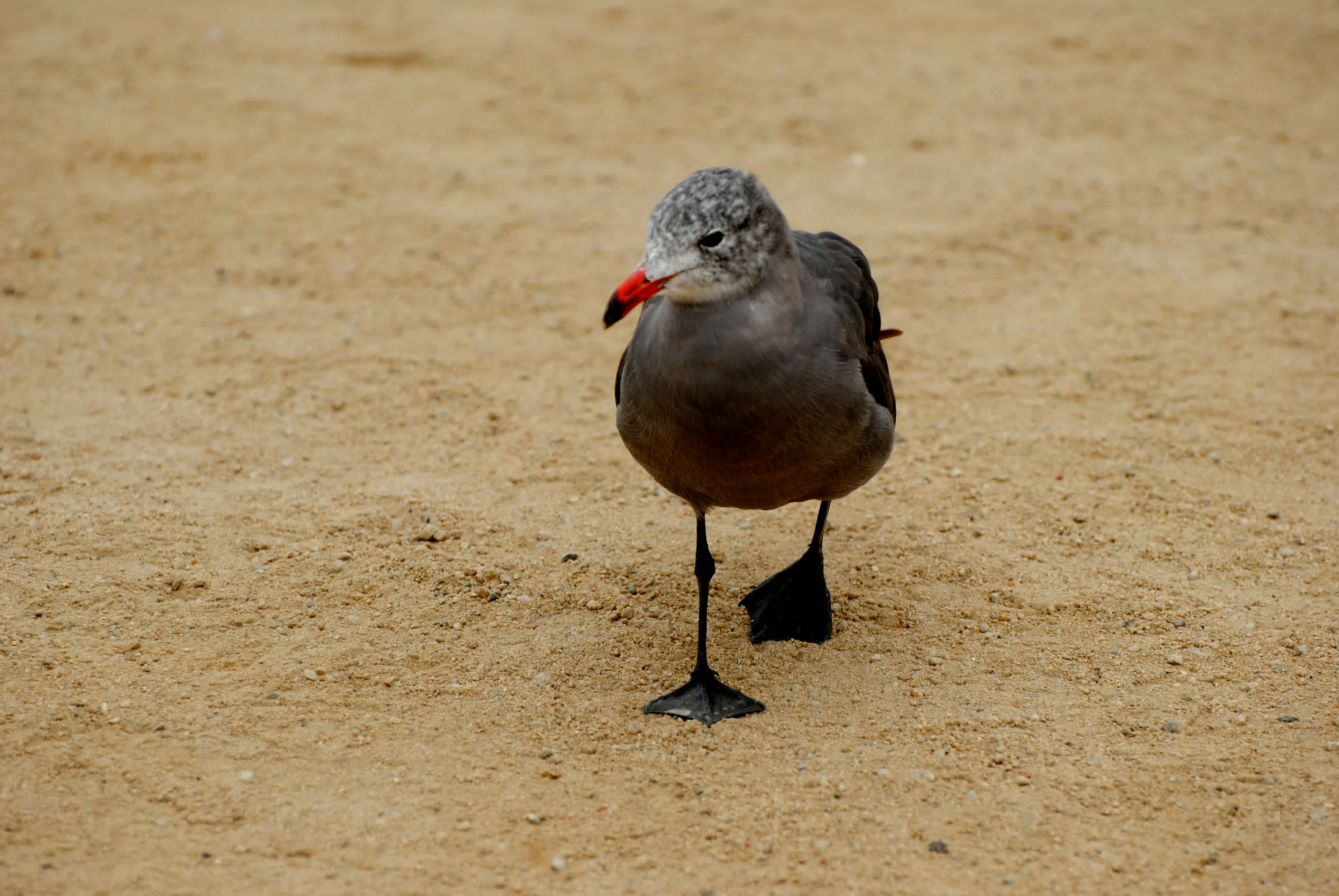 Bird walking on the sand.