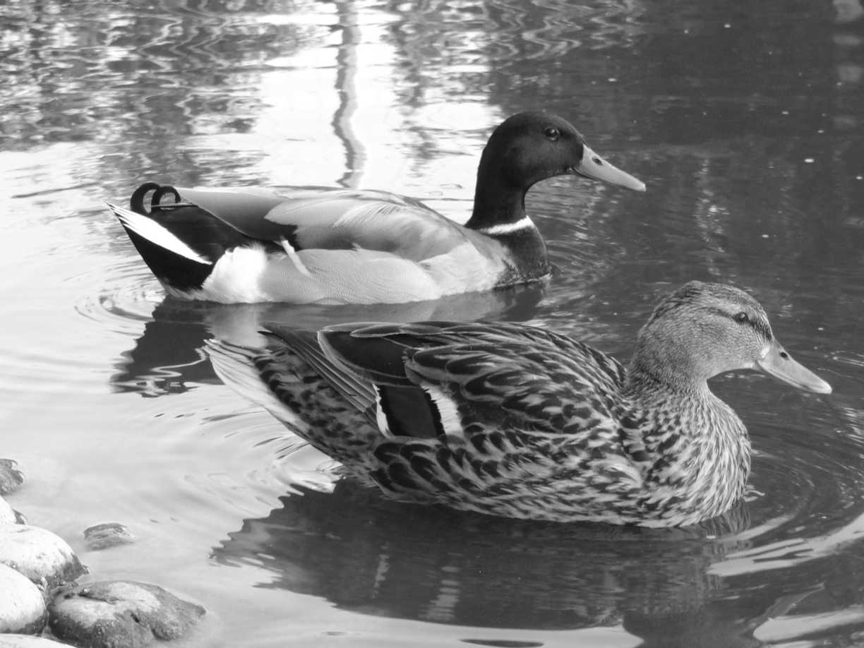 Ducks swimming on the water in black and white.