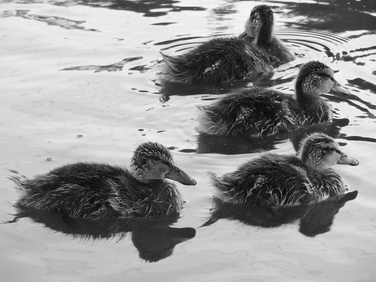 Four black and white ducks swimming in the water.