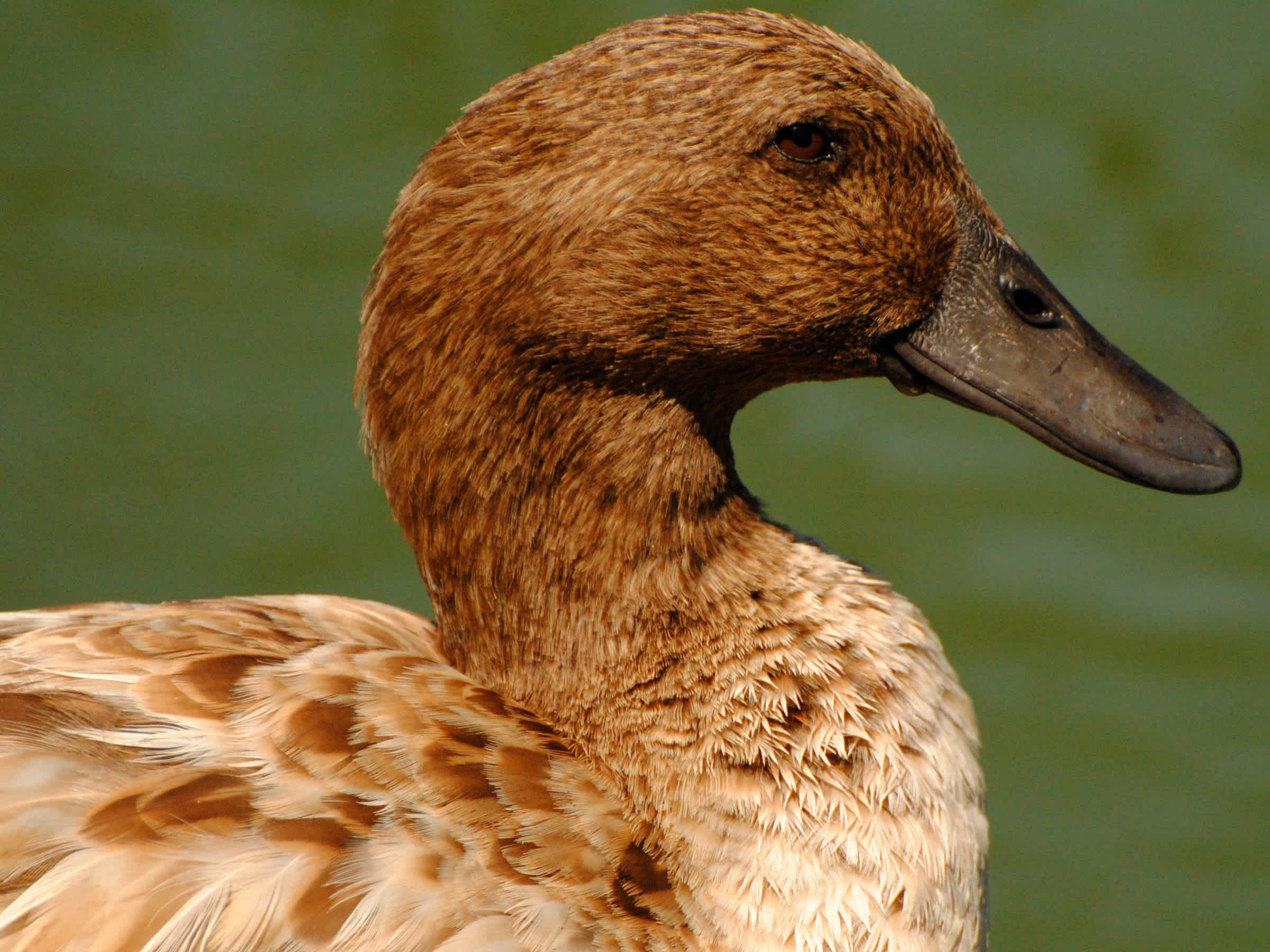 Close-up of brown duck.