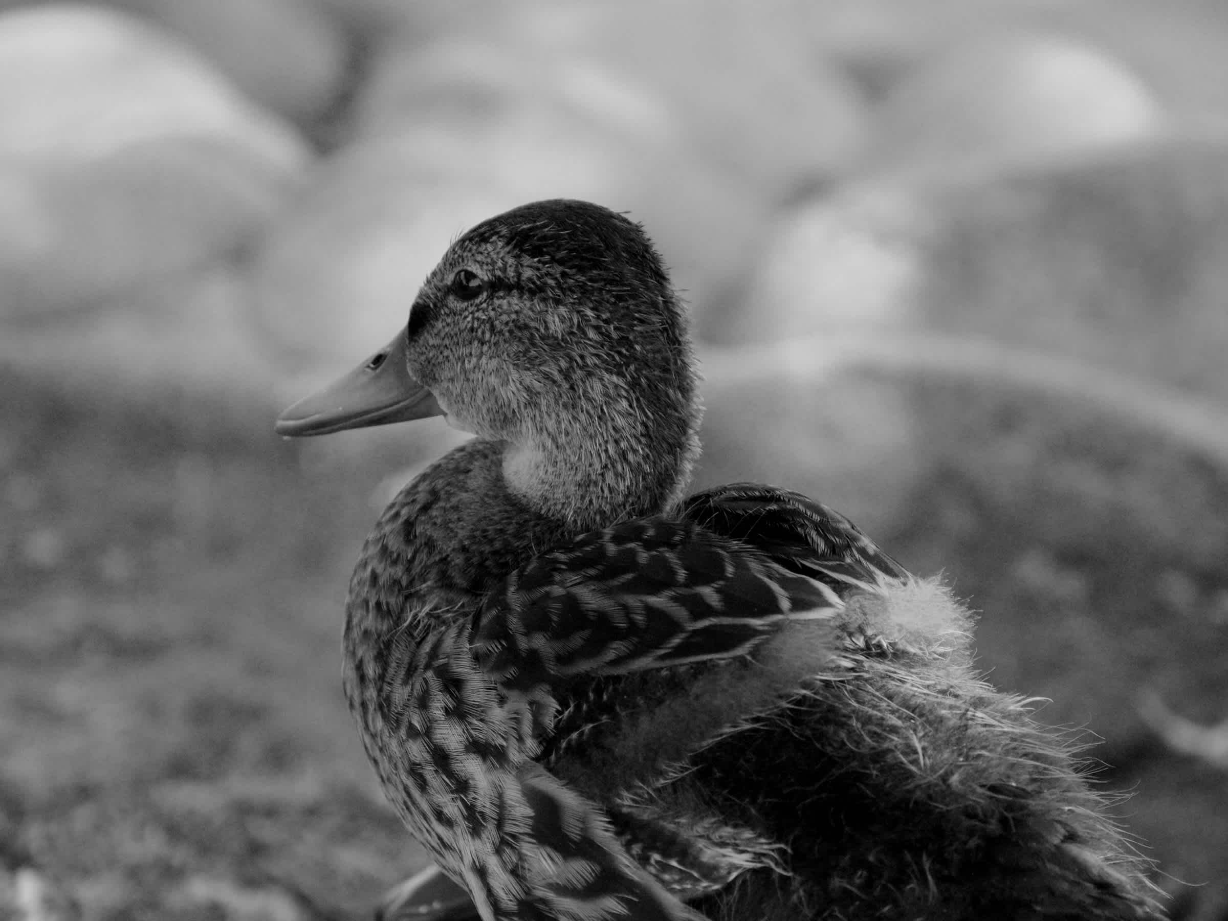 Duck in front of stones in black and white.