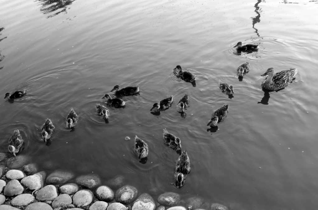 Birds swimming in the water in black and white.