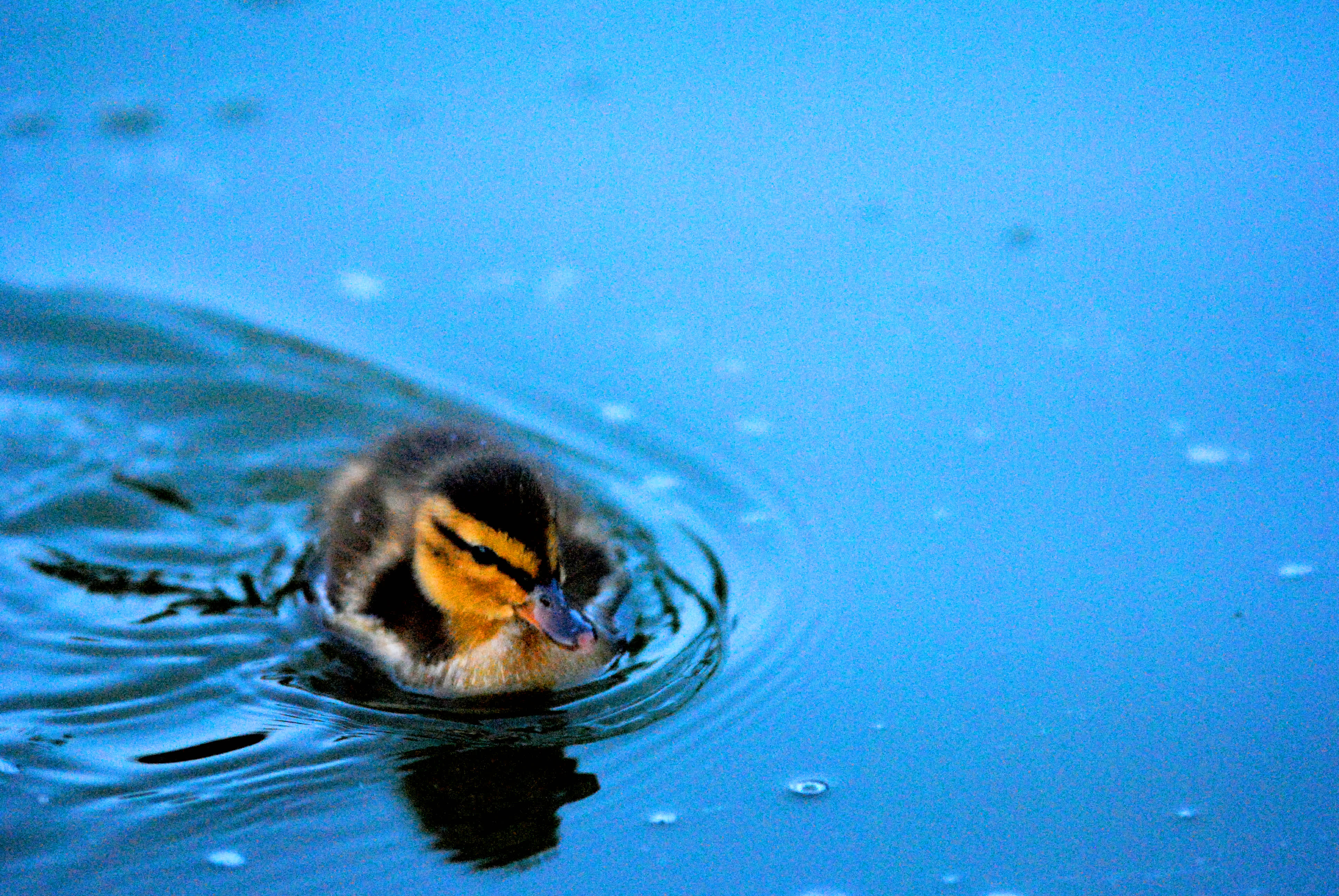 Duckling swimming in blue water.