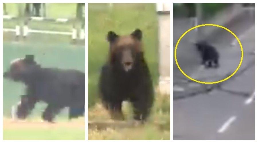 niedźwiedź w Sapporo