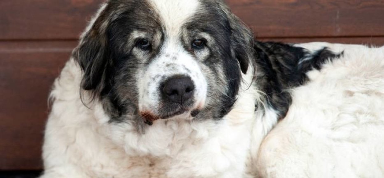 pies porzucony na parafii