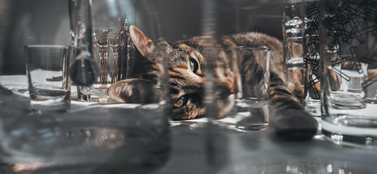 Bury kot leżący wśród szklanek i kieliszków