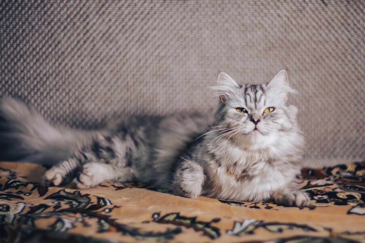 Jak wybrać najlepszą szczotkę dla kota?