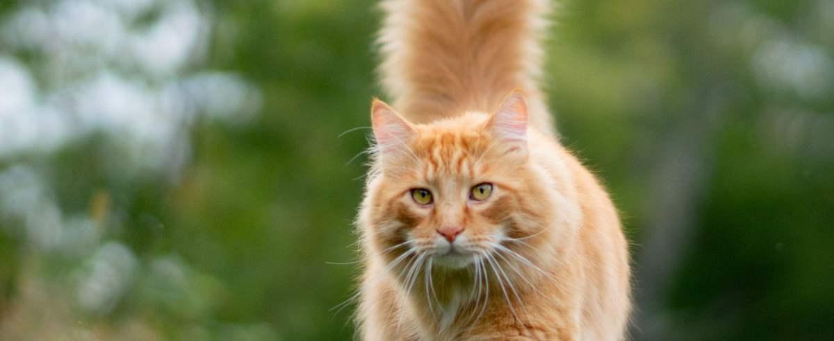 Czemu kot macha ogonem? Możliwe znaczenia