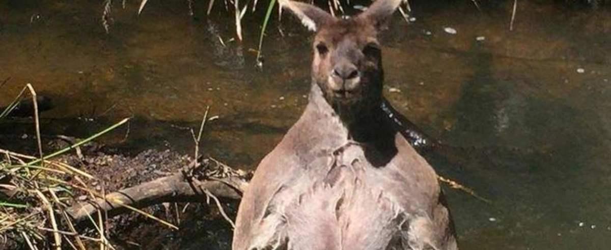 kangur w wodzie