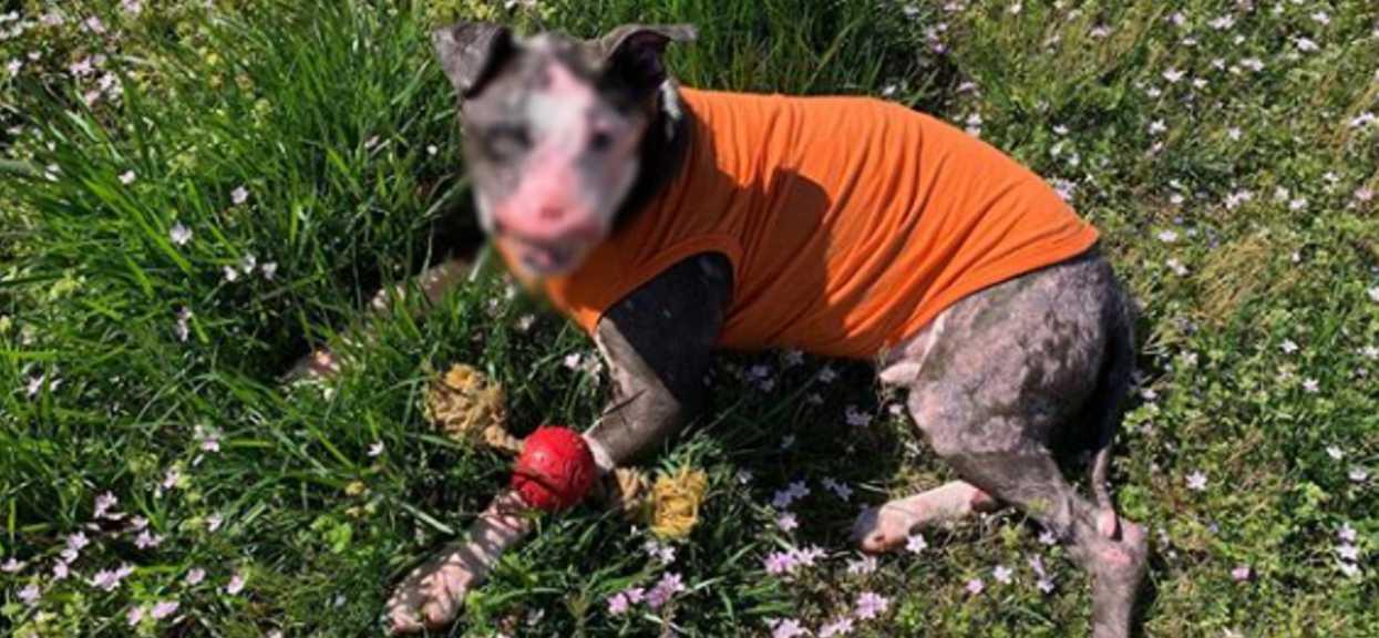 Wyblurowany piękny-brzydki pies po przejściach