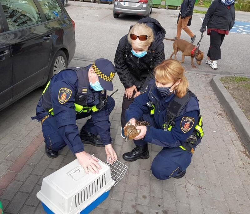 Strażnicy ratują małe kaczki