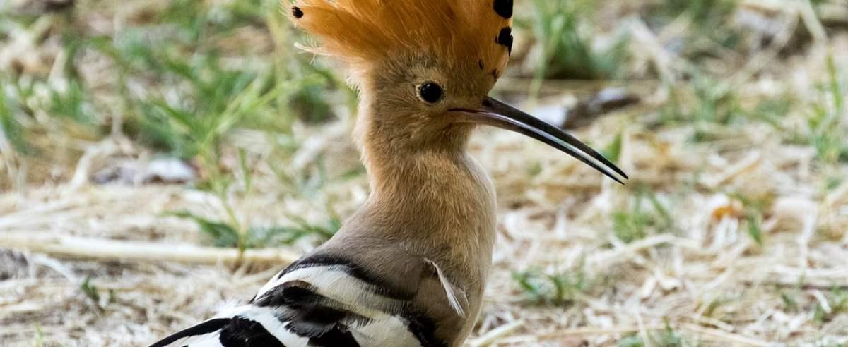Dudek - popularny ptak o niezwykle oryginalnym wyglądzie