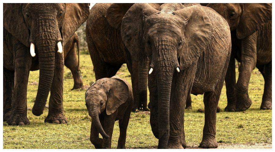 Zdjęcie ilustracyjne: słonie