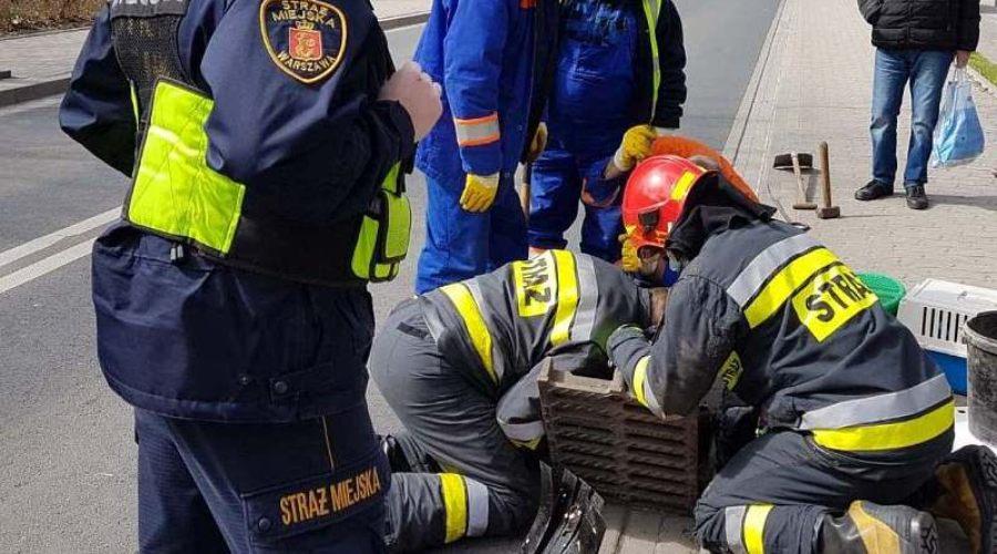 Strażacy i strażnicy ratują kaczki, które wpadły do studzienki w Warszawie