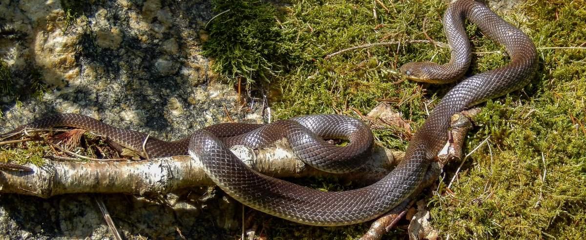 Wąż Eskulapa - największy wąż występujący w Polsce