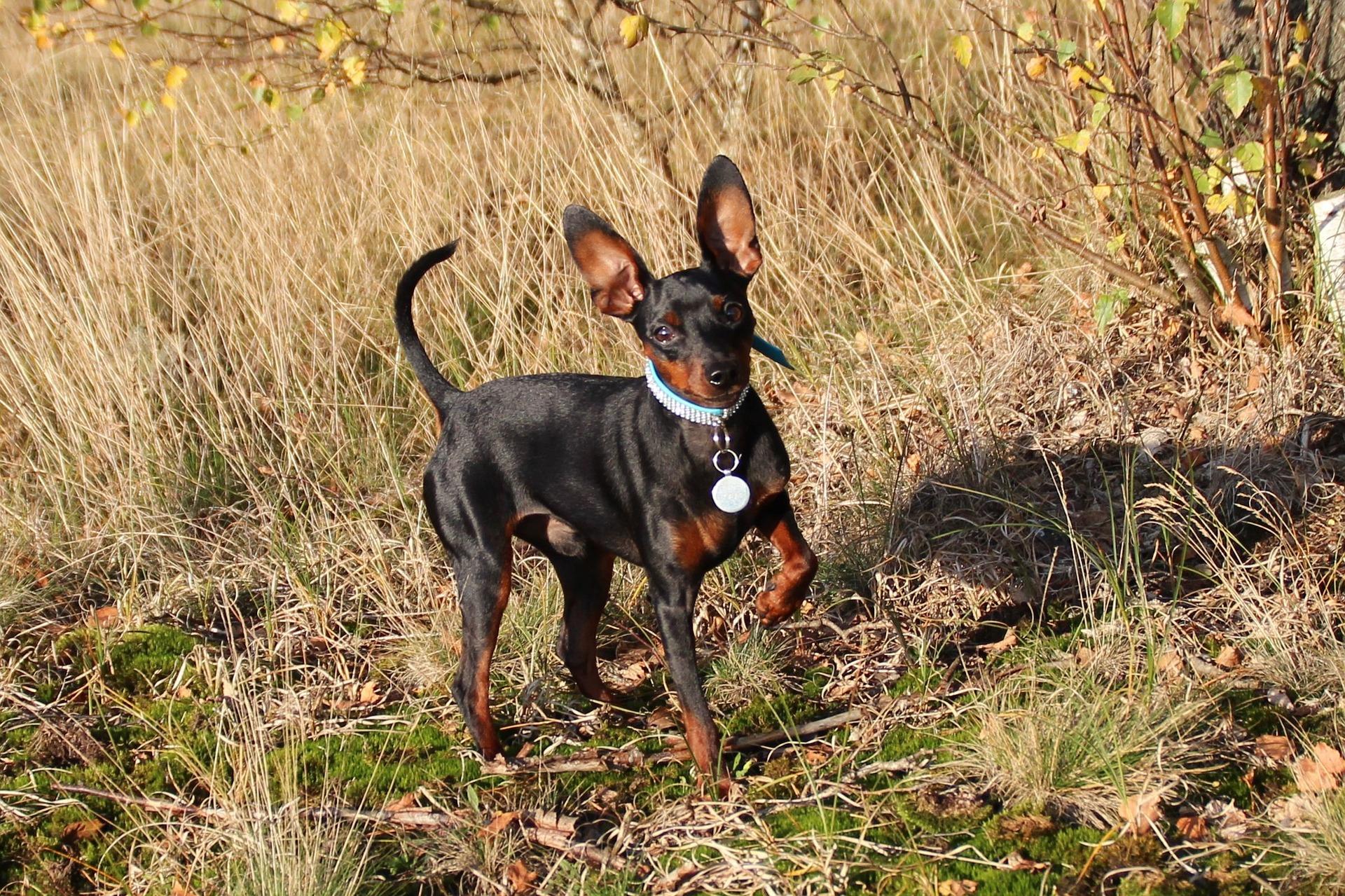 Pinczer miniaturowy: pies wielki duchem