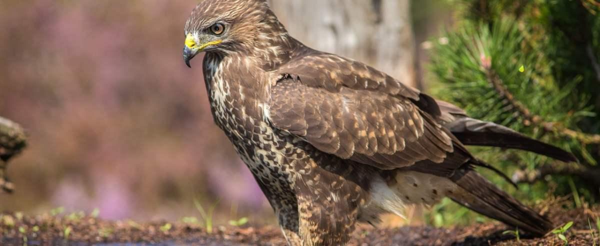 Krogulec - szybki jak strzała postrach mniejszych ptaków
