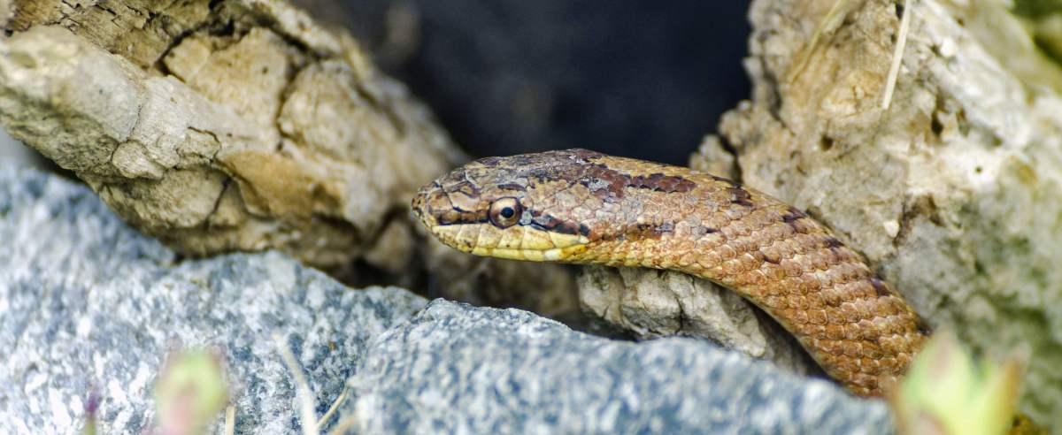 Gniewosz plamisty - najmniejszy gatunek węża w Polsce