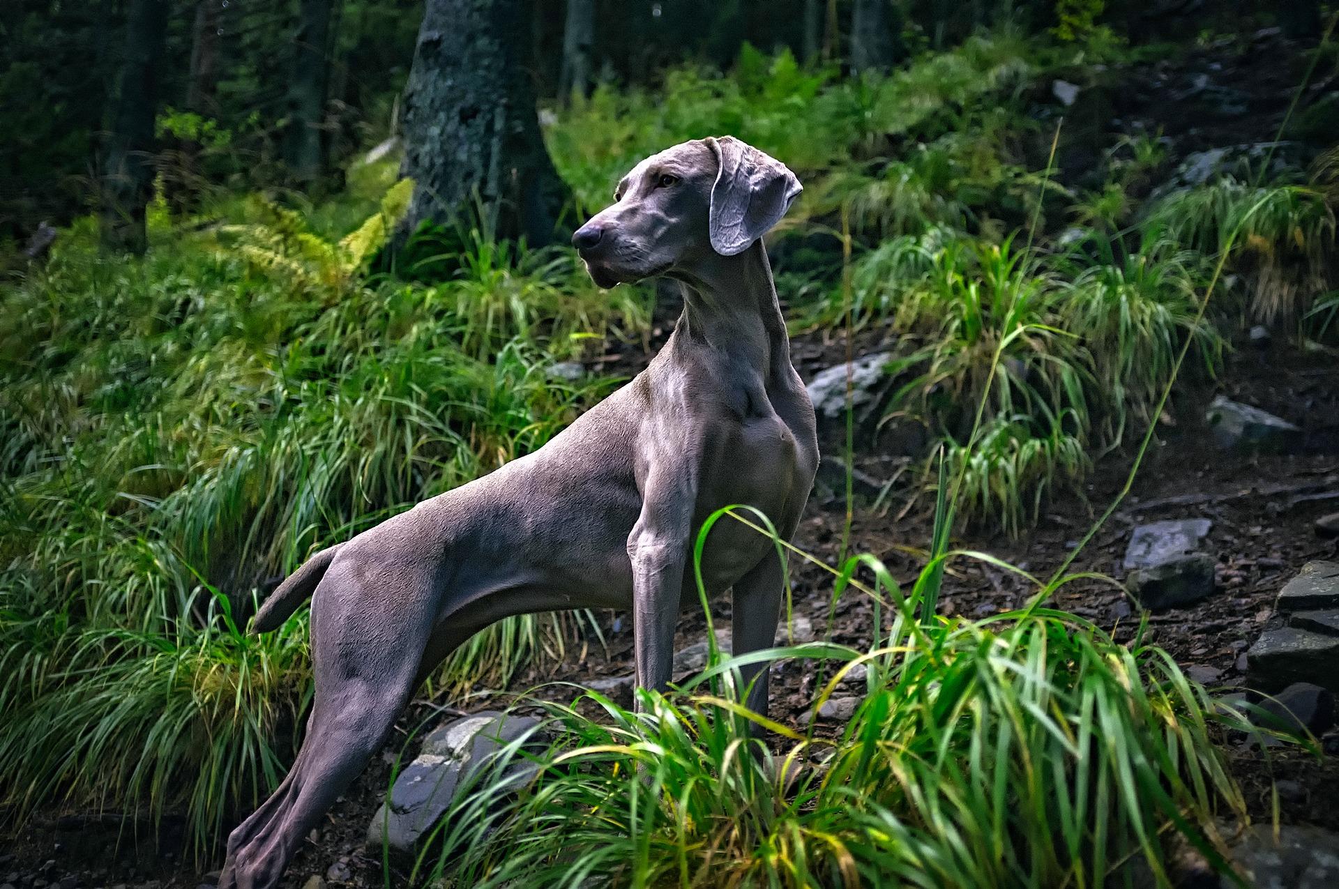 Wyżeł weimarski: arystokrata psów łowieckich