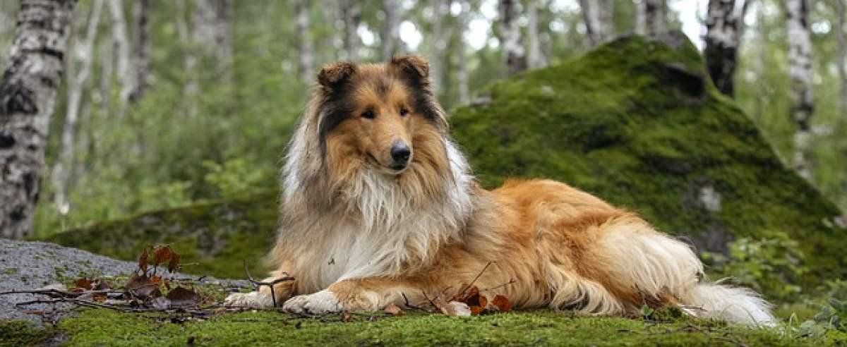 Szkockie rasy psów – poznaj te ciekawe zwierzaki!