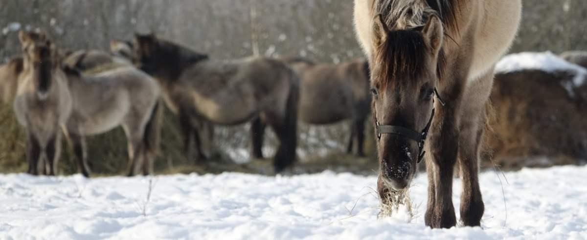 Koniki polskie