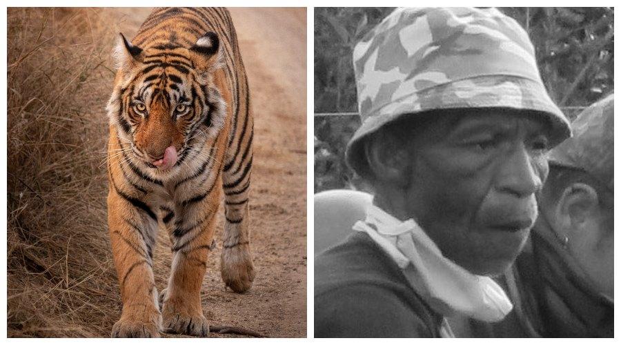 tygrysy z zoo