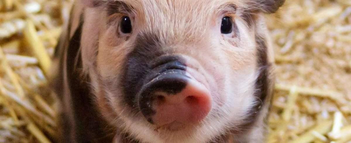 Świnie potrafią grać w gry
