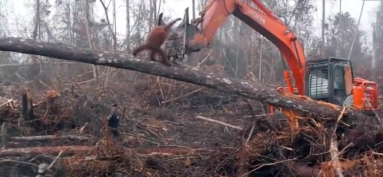 orangutan broni się przed buldożerem