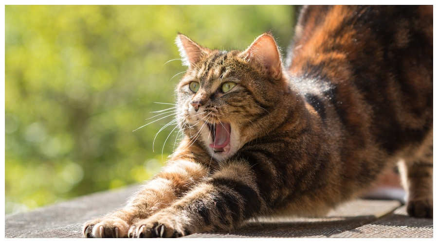 Bojowy kot