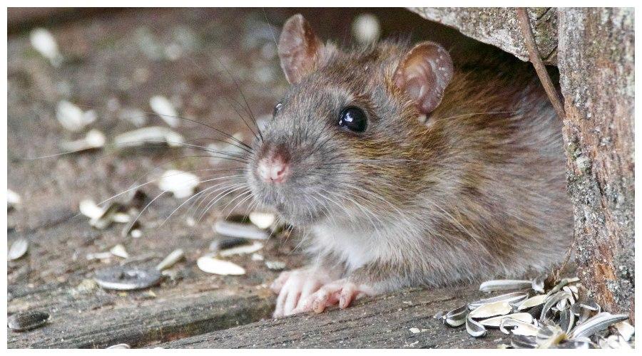 Zdjęcie ilustracyjne: szczur