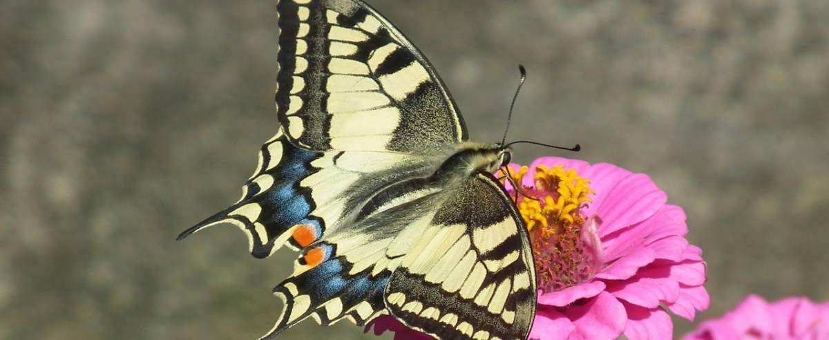 Paź królowej - największy z motyli występujących w Polsce
