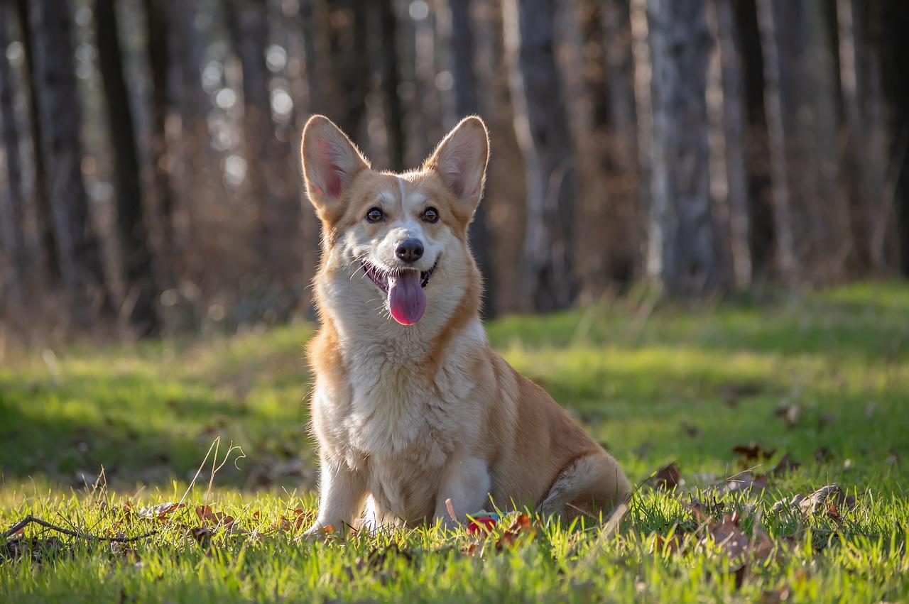 Welsh corgi pembroke – jedna z najbardziej znanych ras psów