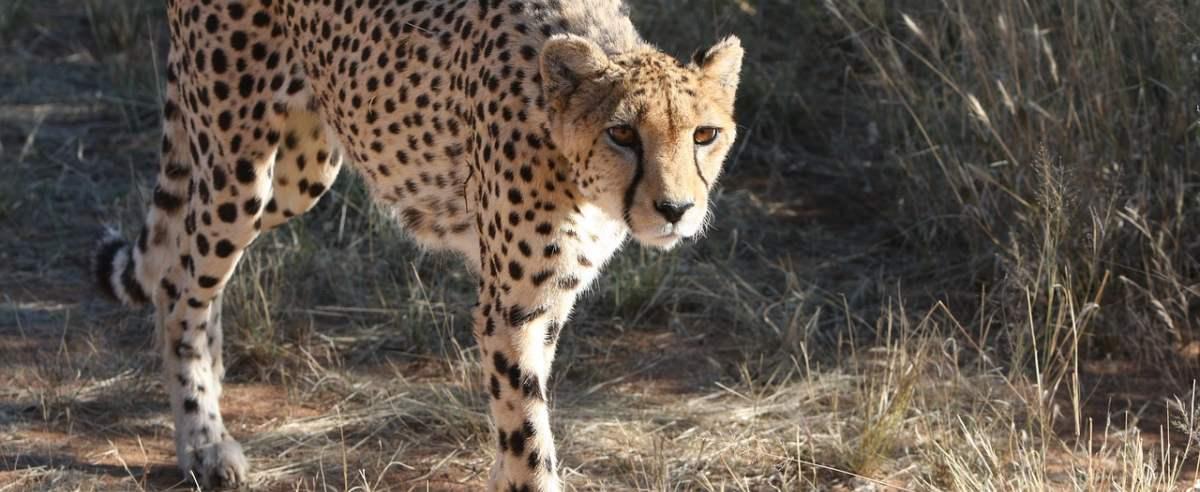 Gepard - najszybsze lądowe zwierzę na świecie