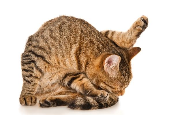 objawy robaków u kota