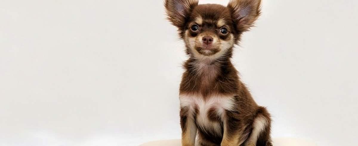 Psy miniaturki – poznaj najmniejszych czworonogów!