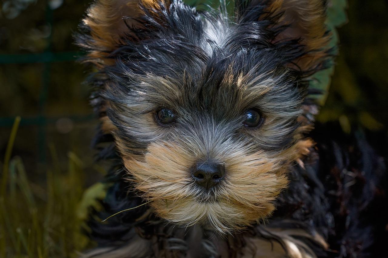Dandie Dinmont terrier – radosny zawadiaka