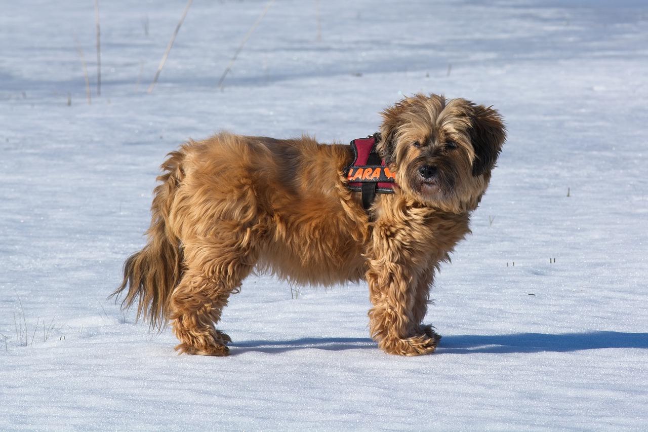Terier tybetański – pies, który przynosi szczęście