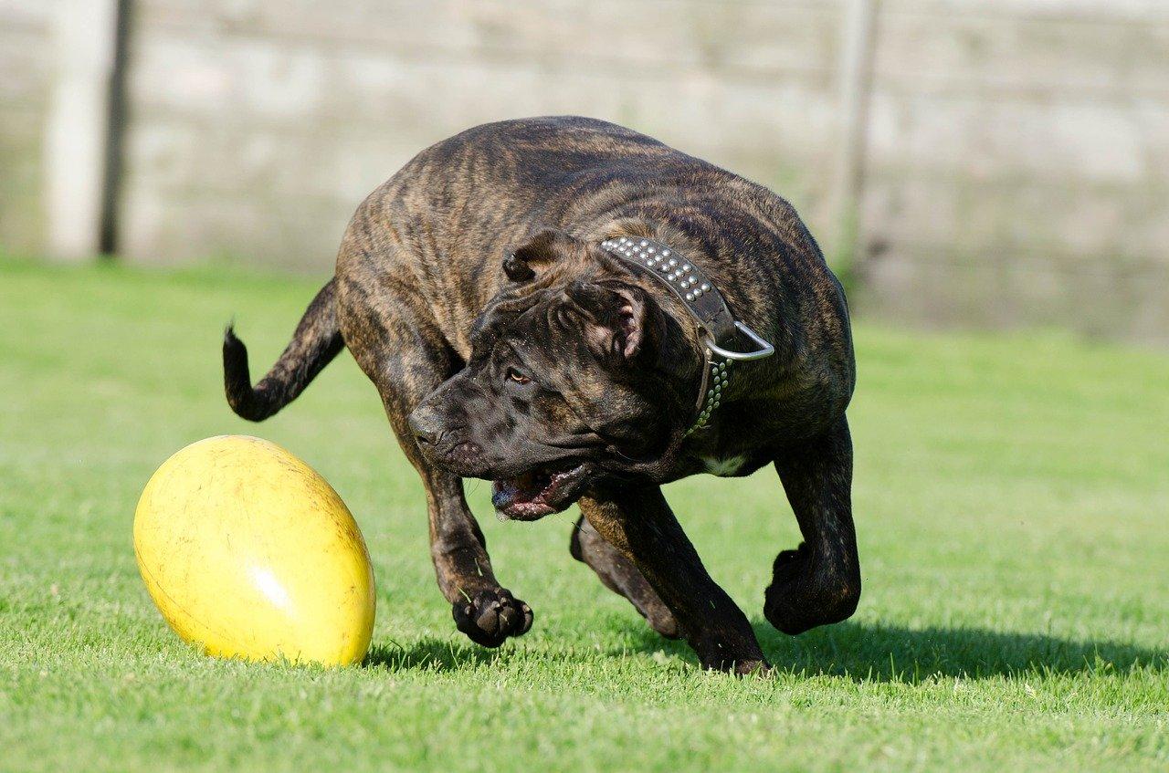 Dog kanaryjski – waleczny wyspiarz